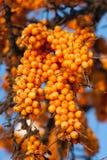 Bacche mature dell'olivello spinoso Immagine Stock