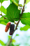 Bacche mature fresche del gelso sull'albero Immagine Stock