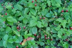 Bacche mature rosse, fragola Immagine Stock Libera da Diritti
