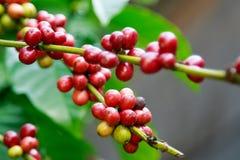 Bacche mature sulla pianta del caffè in azienda agricola Immagine Stock