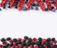 bacche Nero-blu e rosse isolate su bianco Fotografia Stock