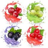 Bacche realistiche nell'insieme della spruzzata dei succhi Raccolta del mirtillo rosso del ribes nero dell'uva spina e del ribes illustrazione vettoriale