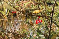 Bacche rosse in autunno sulla mattina soleggiata Immagini Stock Libere da Diritti