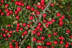 Bacche rosse brillanti Fotografia Stock