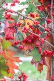 Bacche rosse brillanti fotografie stock