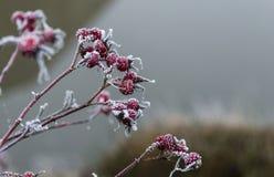 Bacche rosse con i cristalli di ghiaccio bianchi Immagini Stock Libere da Diritti