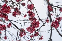 Bacche rosse congelate Fotografia Stock