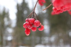 Bacche rosse congelate Fotografie Stock