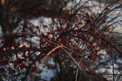 Bacche rosse congelate su un cespuglio Fotografia Stock