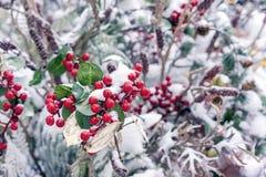 Bacche rosse decorative di Natale nella neve immagine stock libera da diritti