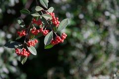 Bacche rosse del Pyracantha Fotografie Stock