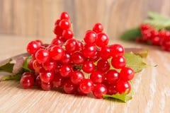 Bacche rosse del Viburnum Fotografia Stock Libera da Diritti