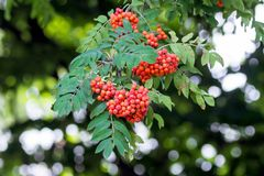 Bacche rosse della cenere di montagna su un albero Bacche e foglie del mou Immagine Stock Libera da Diritti
