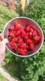 bacche rosse delle fragole su un cespuglio Immagine Stock