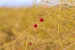 Bacche rosse di asparago bianco Fotografia Stock