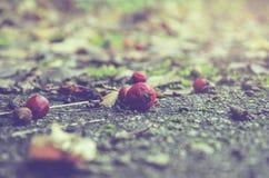 Bacche rosse di cratego che mettono sulla terra fotografie stock