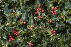 Bacche rosse di Holly Plant Christmas Background With fotografia stock