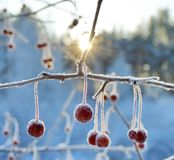 Bacche rosse di inverno alla luce solare Immagini Stock Libere da Diritti
