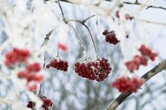 Bacche rosse di inverno sul ramo Fotografia Stock