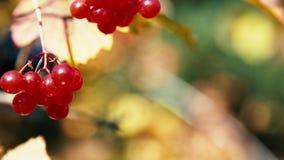 Bacche rosse e foglie gialle di autunno stock footage