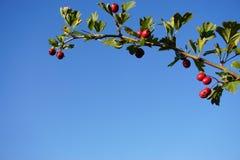 Bacche rosse e fondo blu fotografia stock