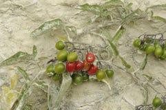 Bacche rosse e verdi Fotografia Stock