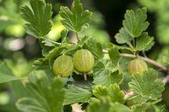 Bacche rosse e verdi delle uva spina che maturano sui frutti sani, crudi, acidi e saporiti dell'arbusto, immagini stock