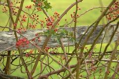 Bacche rosse fra le spine ed i rovi Fotografia Stock