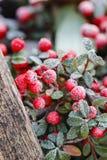Bacche rosse (horizontalis di cotoneaster) nell'ambito di gelo Immagini Stock
