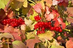 Bacche rosse mature del viburno Fotografia Stock Libera da Diritti