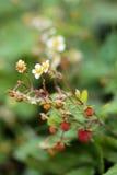Bacche rosse mature di fioritura selvatiche della pianta di fragola Fotografie Stock