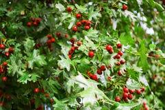 Bacche rosse sconosciute in foglie verdi fotografia stock