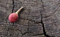Bacche rosse su un fondo di legno Fotografia Stock