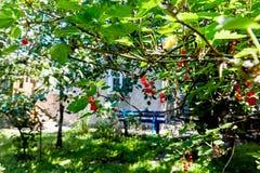 Bacche rosse su un fondo rurale della casa del cespuglio verde Immagine Stock