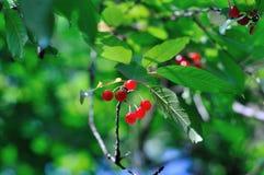 Bacche rosse su un ramo verde Fotografia Stock