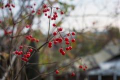 Bacche rosse sui rami di un cespuglio Fotografie Stock