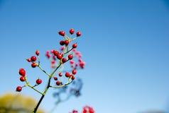 Bacche rosse sull'albero Fotografia Stock