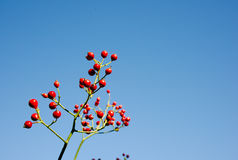 Bacche rosse sull'albero Immagini Stock Libere da Diritti