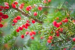 Bacche rosse sull'albero sempreverde Immagine Stock