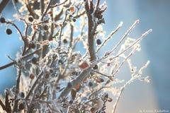 Bacche selvatiche congelate Immagini Stock Libere da Diritti