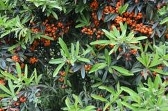 Bacche selvatiche di colore arancio con la luce di natura Immagini Stock