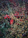 Bacche selvatiche nella caduta fotografia stock
