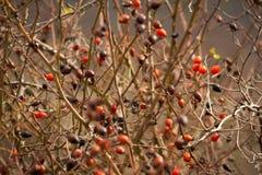 Bacche selvatiche rosse immagine stock