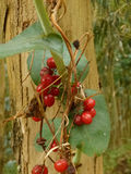 Bacche selvatiche vicino all'albero nella foresta Fotografia Stock Libera da Diritti