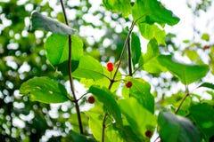 Bacche su un cespuglio verde Wolfberry Bacche tossiche Fotografia Stock Libera da Diritti