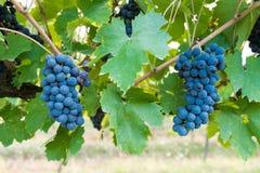 Bacchus, группы виноградин Стоковая Фотография RF