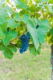 Bacchus, группы виноградин Стоковые Фото