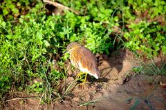 Bacchus Heron with brown-white feathering in the Yala Nationalpark. On the tropical island Sri Lanka in the Indian Ocean during a jeep safari tou Royalty Free Stock Image