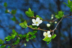 bacground biel gałęziasty czereśniowy makro- Obrazy Royalty Free