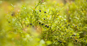 Bacground de forager avec les baies comestibles Photos libres de droits